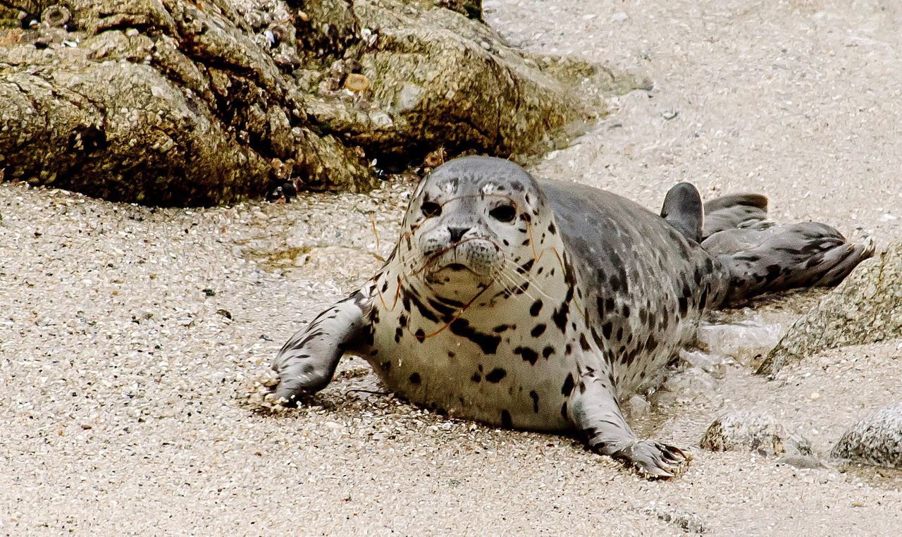 Baby Seal Seal Animal Wildlife One Animal Nature Looking At Camera Mammal Animals In The Wild Close-up Sand Beach Day Outdoors Copy Space