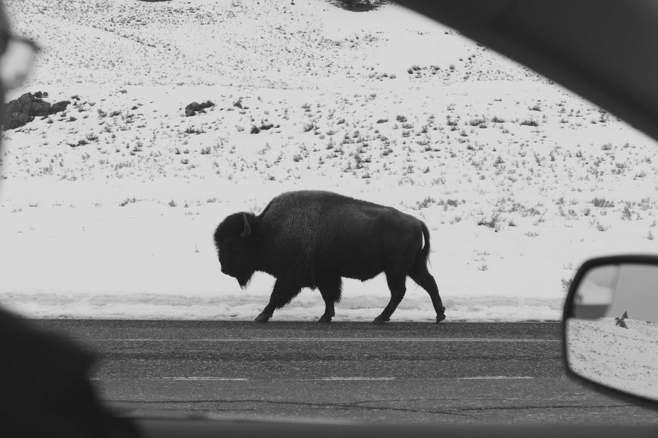 American Bison Animals In The Wild National Park Nature One Animal The Drive Yellowstone National Park Yellowstone Wildlife Yellowstone Winter