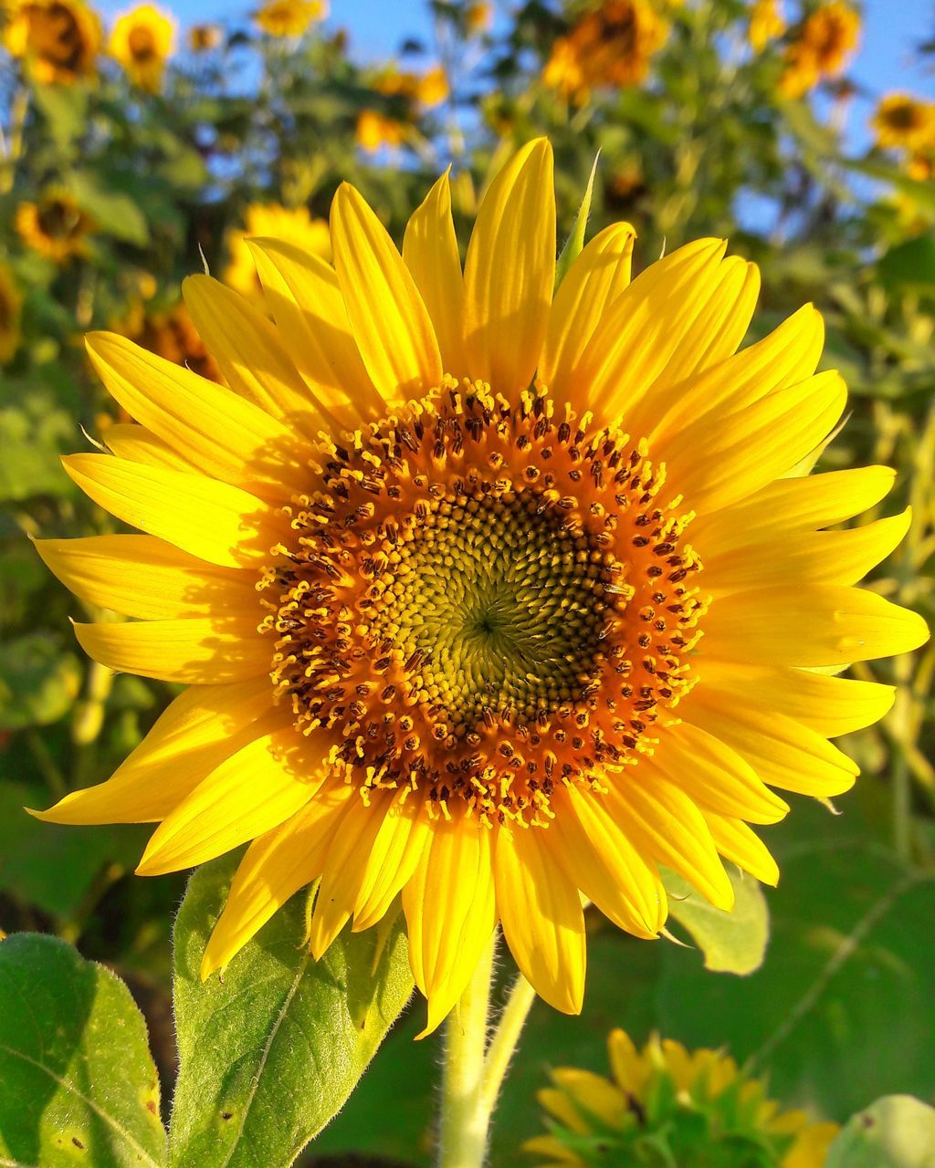 flower, yellow, petal, nature, fragility, beauty in nature, growth, flower head, plant, freshness, sunflower, no people, close-up, outdoors, blooming, field, day, pollen