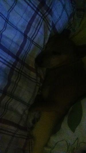 Close-up Indoors  Dog Dogs Sleeping Sleeping Dog Love Chihuahua