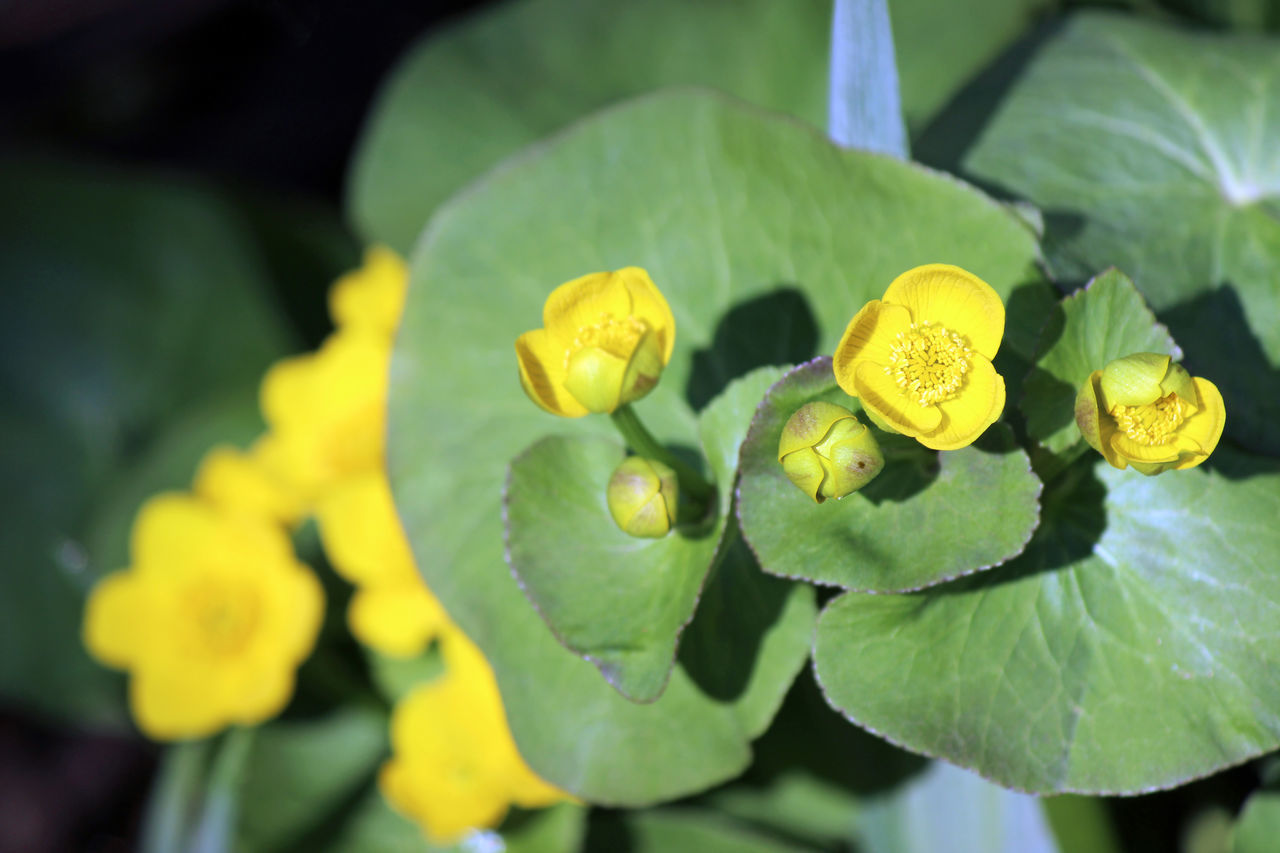 Marsh marigold Beauty In Nature Blooming Bright Close-up Flower Flower Head Fragility Freshness Green Color Growth Leaf Marsh Marsh Marigold Nature Outdoors Petal Plant Spring Vibrant Colors Wetlands Wisconsin WoodLand Yellow