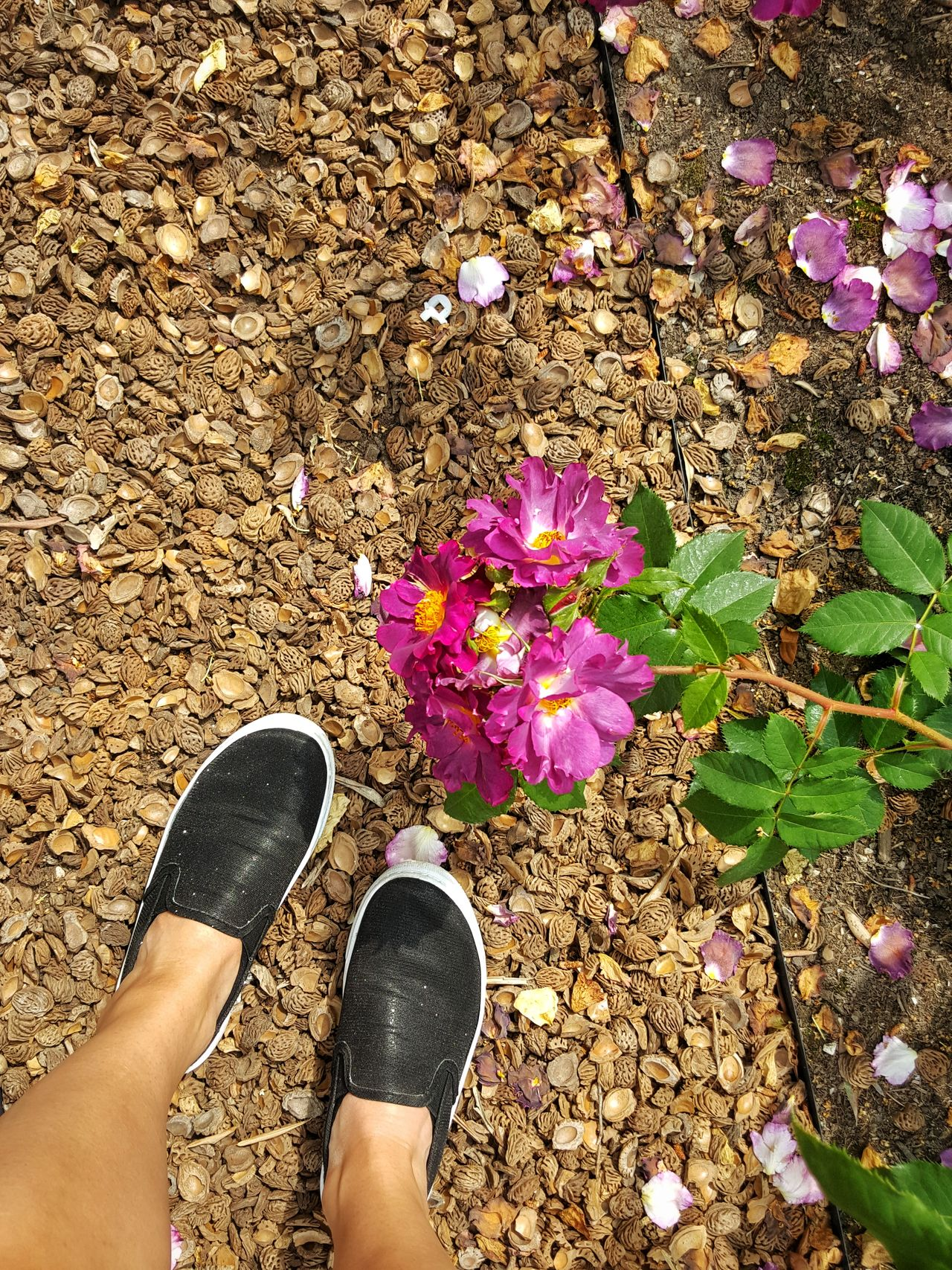 Shoe Standing Flower Day Nature Beauty In Nature Flower Head Monaco Roses🌹 Rose Garden The Great Outdoors - 2017 EyeEm Awards