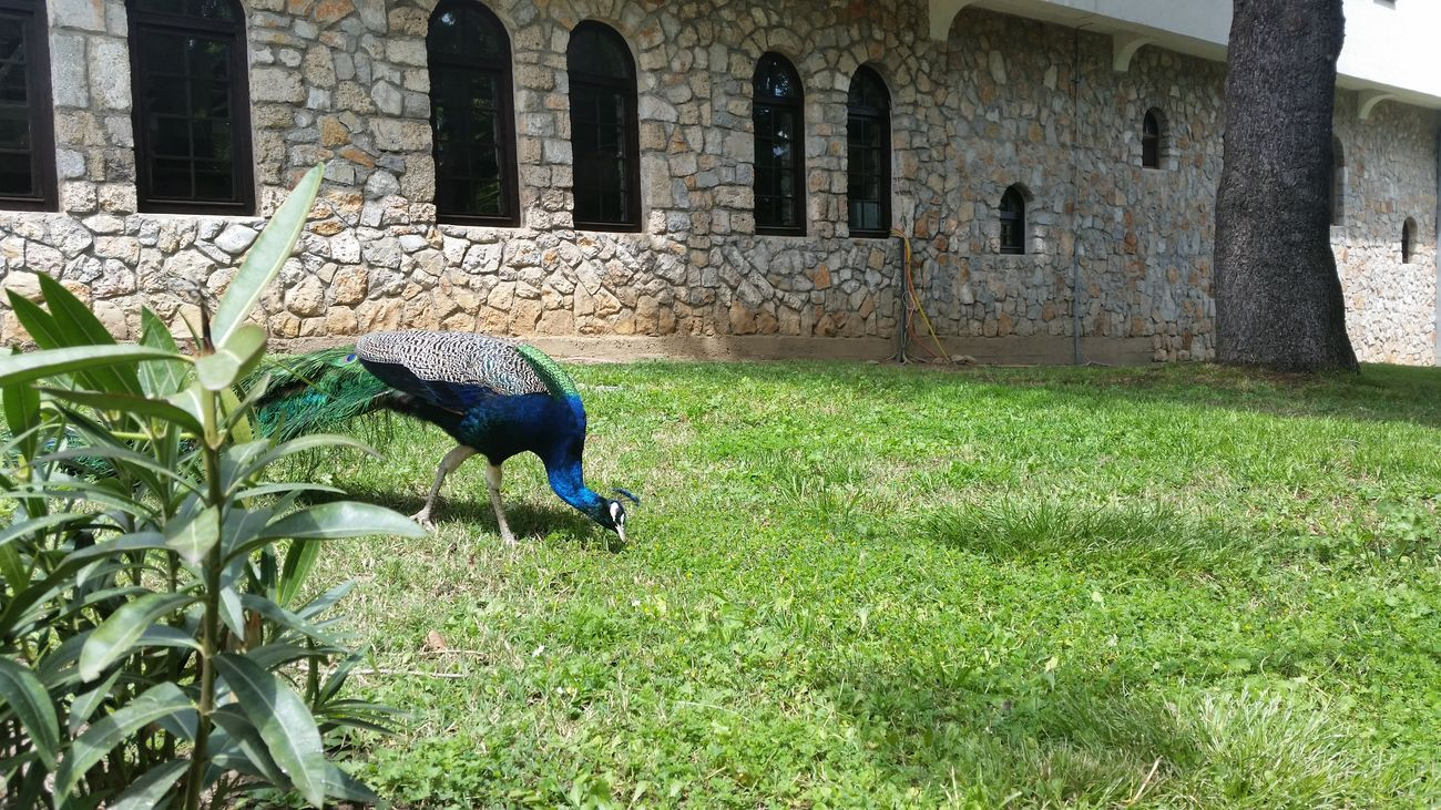 Day Outdoors Green Color Built Structure Plant No People Building Exterior Architecture Beauty In Nature Nature EyeEmNewHere Bird Bird Photography Peacock Peacock Colors Peacock Blue Colorful Ohrid Facade Building Stone Facade Facades Grass Tree GalaxyS5