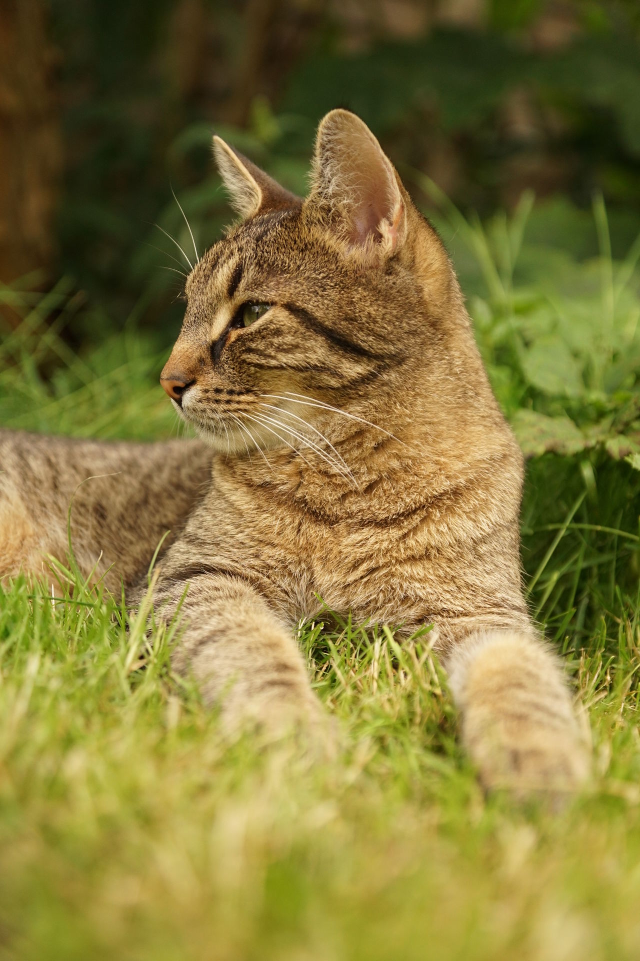 Tabby cat relaxing on the lawn Grass Listening Animal Portrait Animal Themes Close-up Day Domestic Animals Domestic Cat European Shorthair Feline Garden Grass Lawn Lying Down Mammal Nature No People One Animal Outdoors Pets Relaxation Relaxed Sitting Tabby Cat Watching
