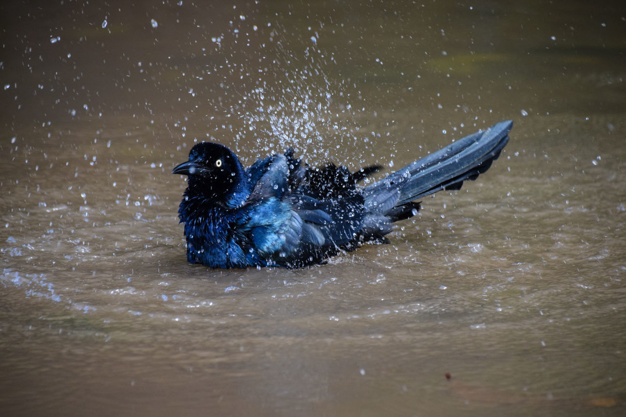 Great tailed grackle bathing Animal Themes Beauty In Nature Bird Day Great-tailed Grackle Mammal Motion Nature No People Outdoors Splashing Spread Wings Swimming Water Waterfront