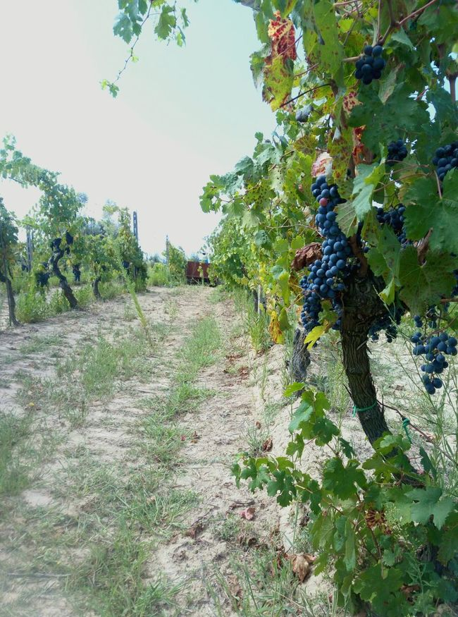 Agriculture Rural Scene Vendemmia Uva Trattore Farm Life Tuscany Countryside Workfield Farmer's Life Wine Grapes Nature Photography Grapeleaves