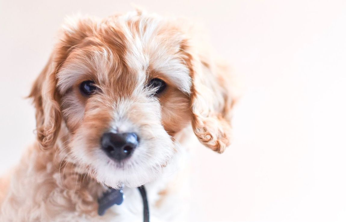 Looking at you Pets Dog Portrait Close-up Cavapoo Puppy Love Puppy Dogs Of EyeEm Dog Love Dogs Pets Corner Pet Photography  Indoors