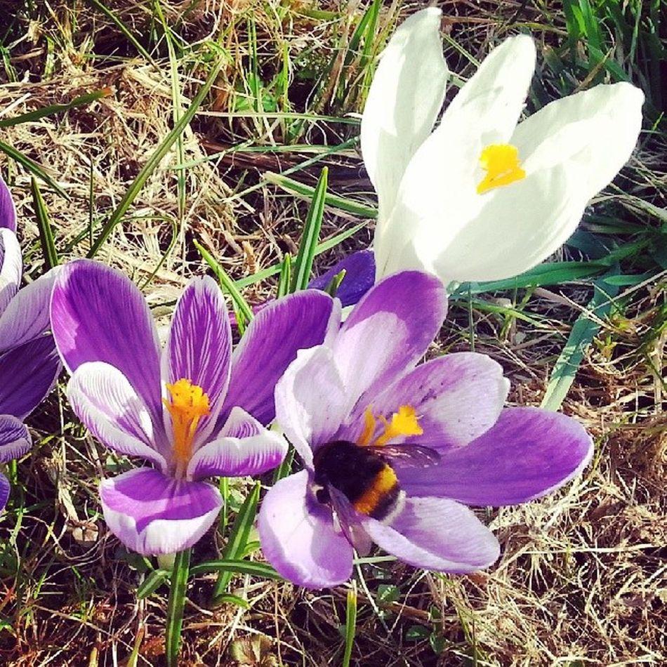 подснежник шмель Humml Blume