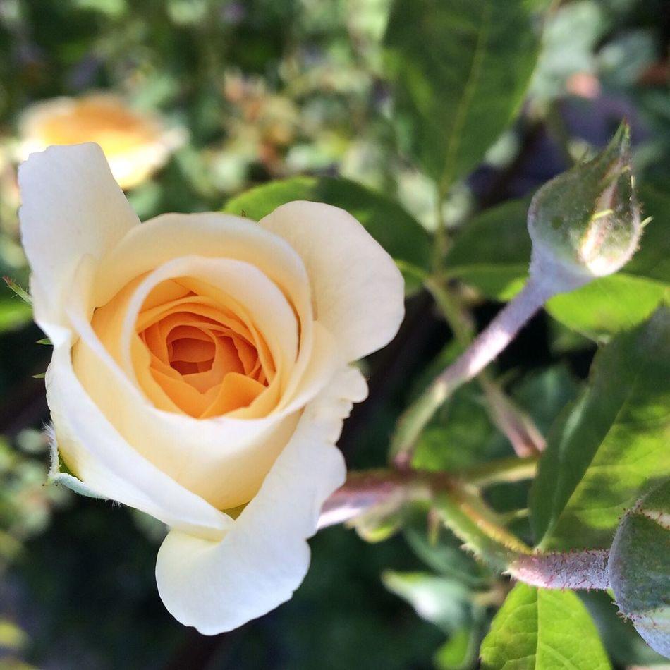 GoodMorningWorld Teasinggeorgia Rose🌹 English Flowers Nature Mygarden Beauty In Nature Davidaustinroses