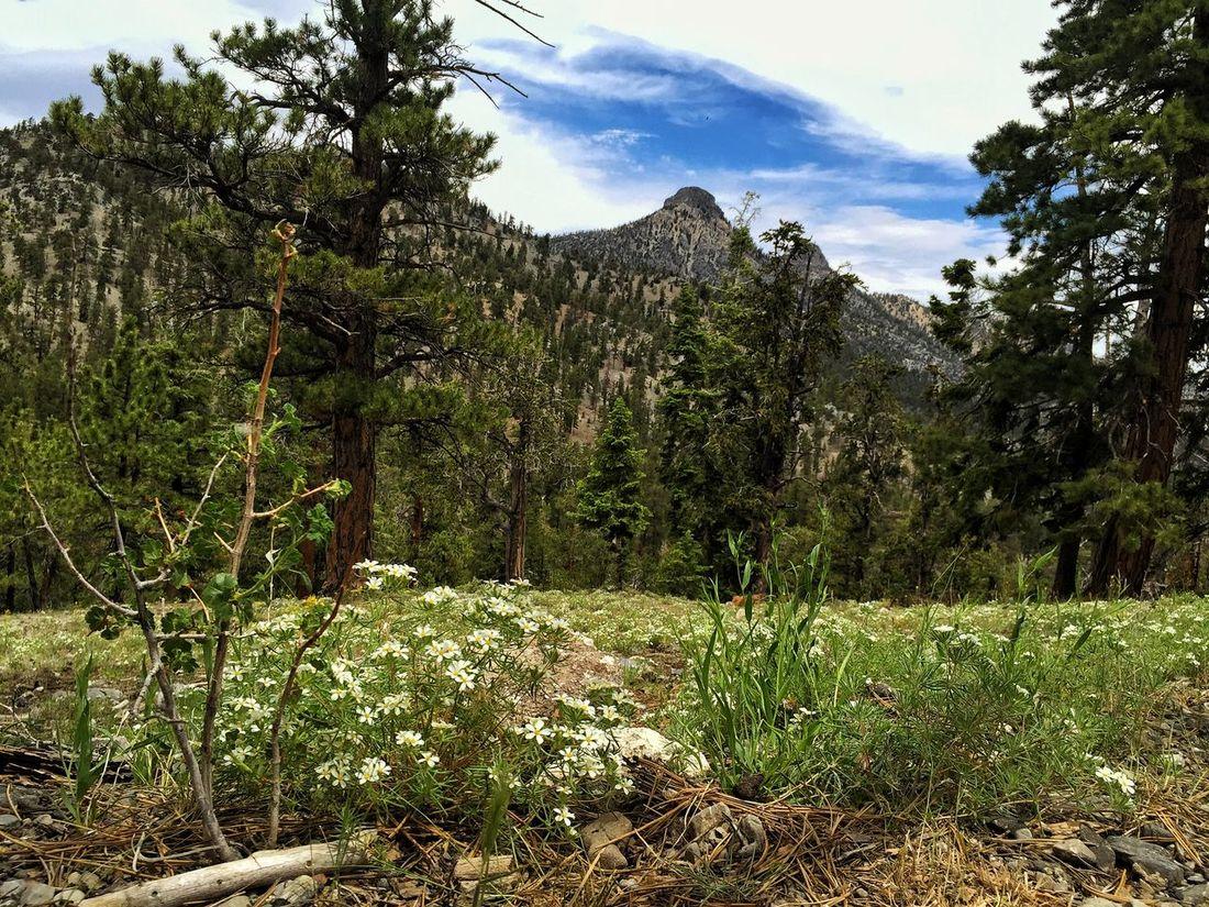 Hiking along the trail. Hikingadventures Wildflowers Mountain Hiking Las Vegas Nevada Mt. Charleston IPhoneography