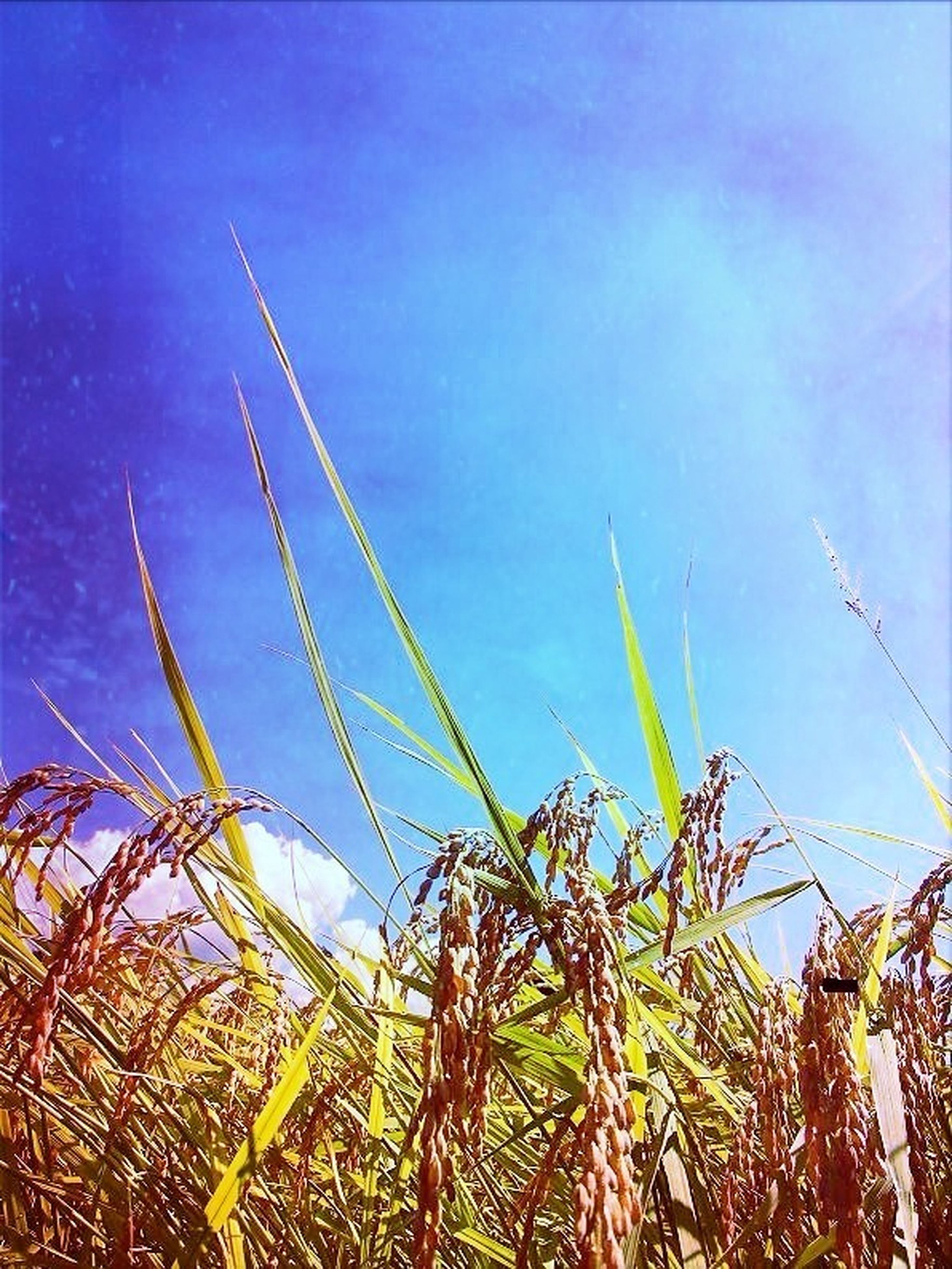 plant, growth, nature, field, beauty in nature, blue, sky, grass, tranquility, agriculture, rural scene, close-up, scenics, crop, no people, tranquil scene, outdoors, cereal plant, growing, stem