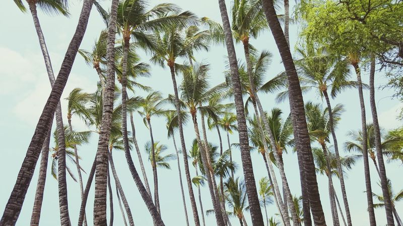 Palm Trees Hawaii Bigislandhawaii