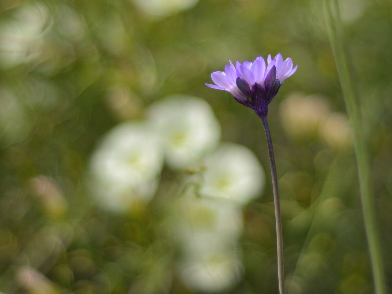 Flower Nature Beauty In Nature Fragility Growth Freshness Petal Close-up Purple Outdoors Blooming Plant Flower Head No People Day