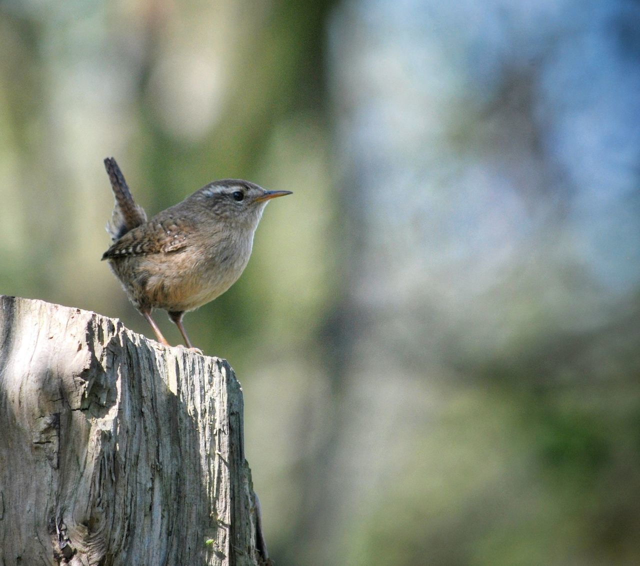 Bird Nature Outdoors Perching Songbird  Tiny Bird Wildlife Wren