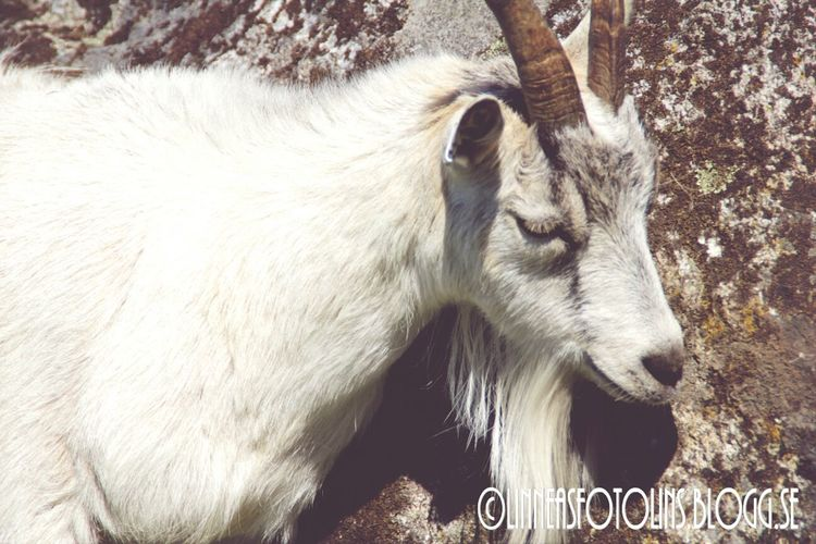 Goat Animal Beauty check out http://linneasfotolins.blogg.se