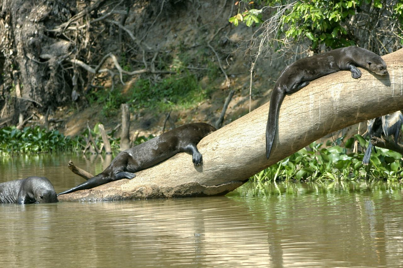 No People Nature Mammal River Water Otter Giant Otter Pantanal Brazil Wetlands Mato Grosso Do Sul Tree Trunk Tree Snakebird Darter Sunbathing Resting Three Vacation Holiday Wet Season Tropical
