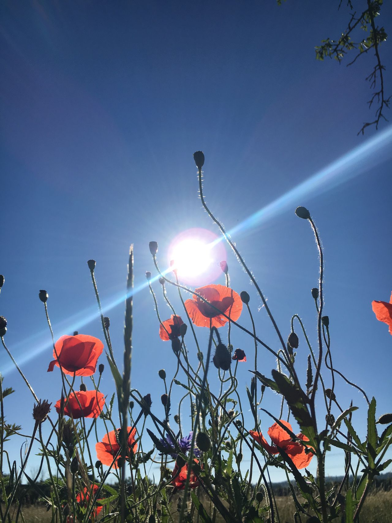 Low Angle View Growth Clear Sky Plant No People Nature Outdoors Sky Sun Sunlight Flower Beauty In Nature Day Poppy Close-up Freshness Poppy Flowers Poppies
