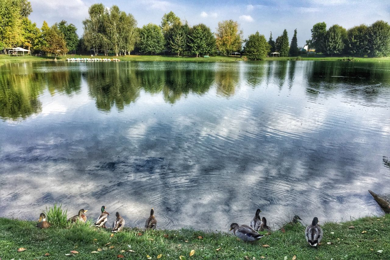 water, animals in the wild, lake, animal wildlife, animal themes, nature, bird, outdoors, no people, day, grass, lakeshore, goose, tree, reflection, beauty in nature, large group of animals, black swan, mammal