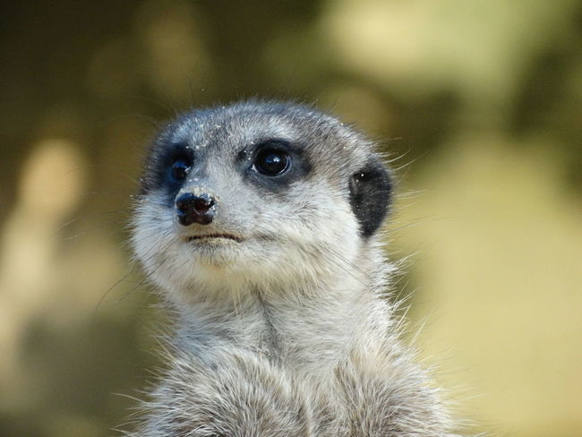 Meerkat Meerkats Meerkats Standing Wanderlust Wunderschön Hello World Erdmännchen Funny Funny Faces Sweet Cute One Animal Animals In The Wild Animal Wildlife Mammal Zoo Nature Outdoors Close-up