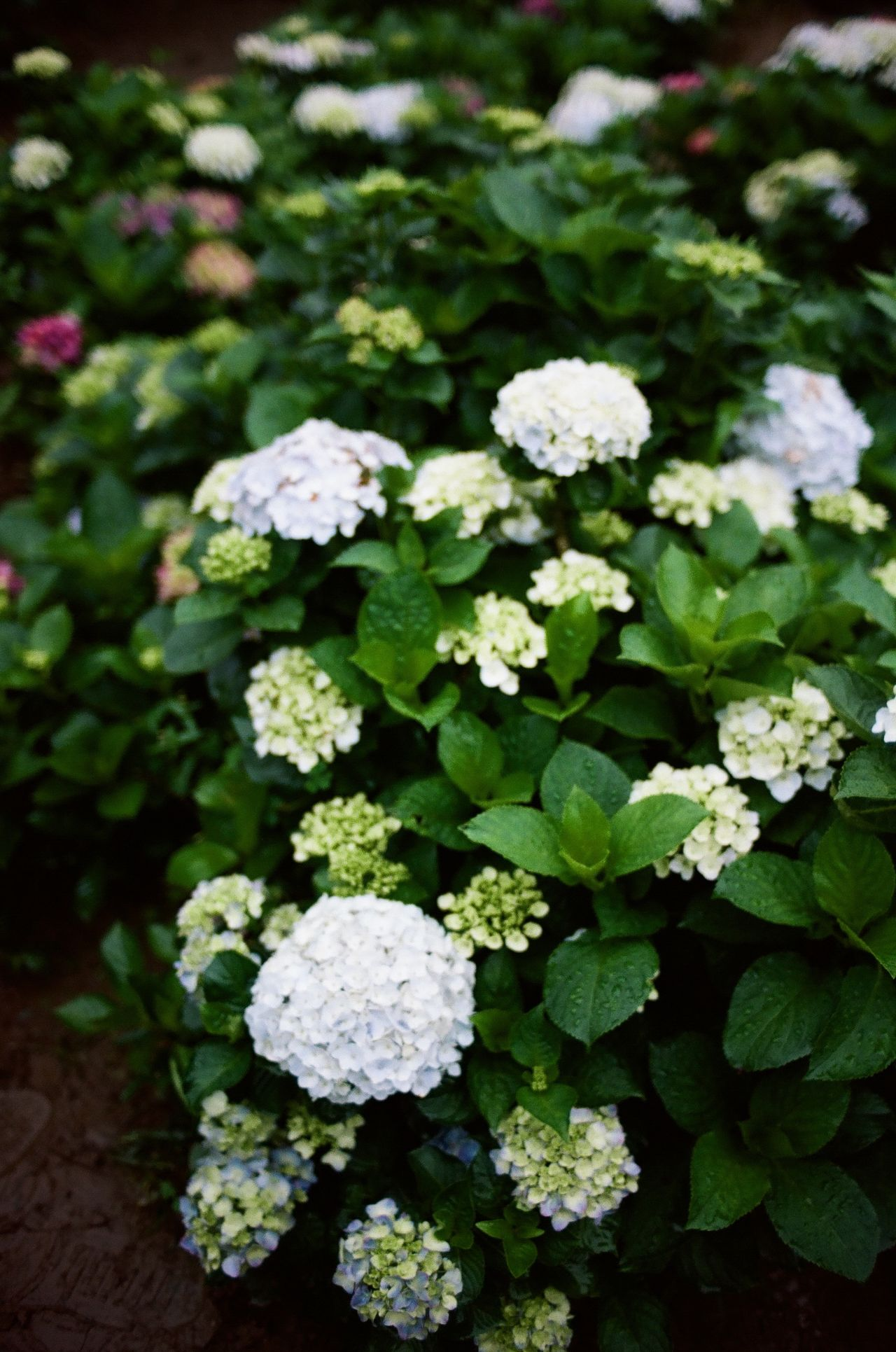 Beauty In Nature Blooming Close-up Day Film Photography Filmisnotdead Flower Flower Head Fragility Freshness Green Color Growth Hydrangea Leaf Nature No People Outdoors Plant
