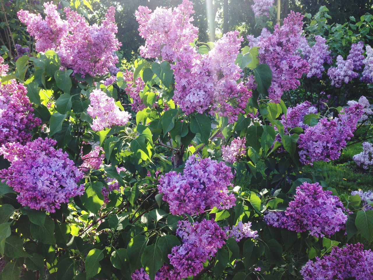 Low Angle View Of Lilacs Blooming At Park