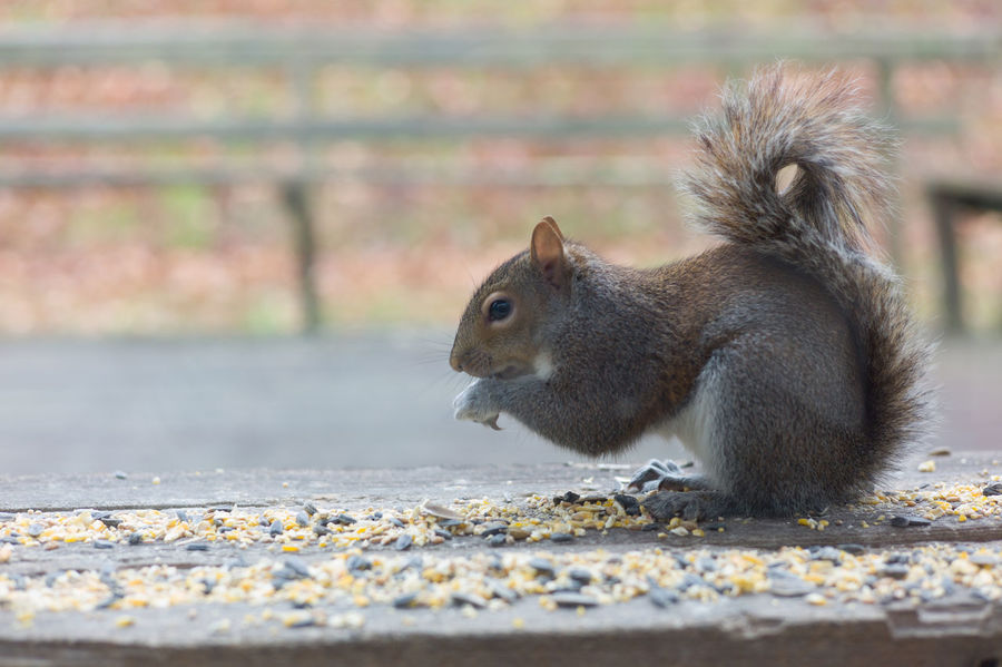 Animal Animal Theme Animal In The Wild Squirrel Animal Feeding Corns Outdoors Close-up Eye Level Woods Background No People Day TCPM