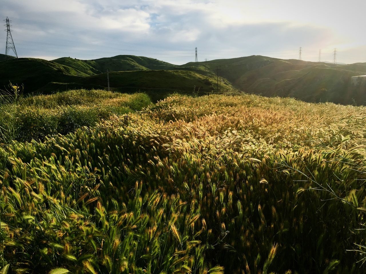Waves Of Grain Evening Light Wheat Field Rolling Hills Landscape Nature Rural Scene No People Beauty In Nature Outdoors Hillside