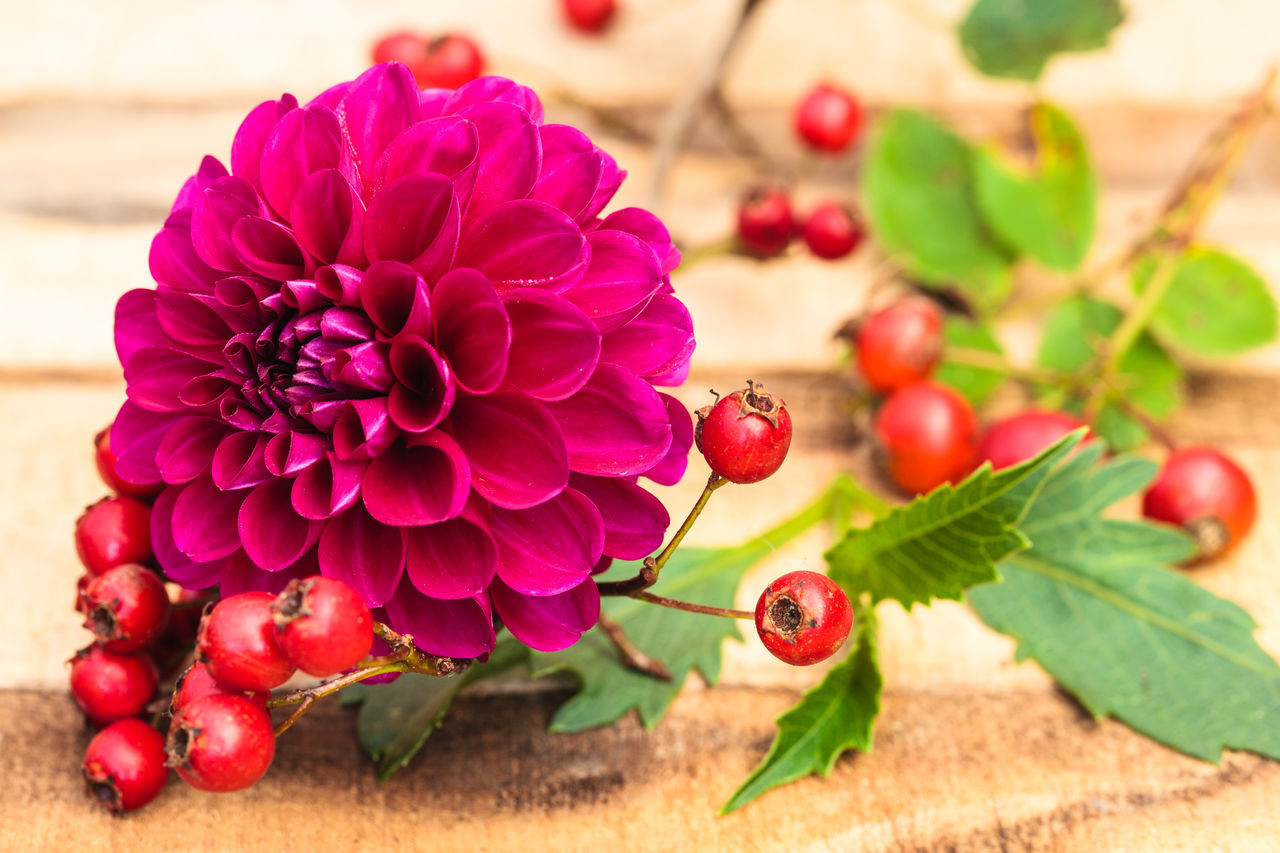 Beauty In Nature Close-up Dahlia Day Floral Photography Floralarrangement Flower Flower Head Food Food And Drink Fragility Freshness Fruit Growth Healthy Eating Leaf Nature No People Outdoors Plant Red Rose Hips