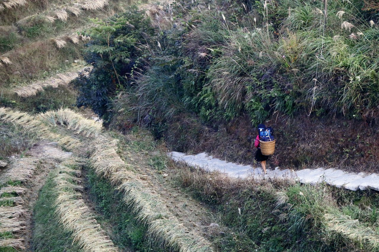 A strong lady porter in her traditional custome passing by harvested rice field at Longji Rice Terrances. Rice Harvesting Traveling In China Longji Rice Terrances Guilin Porter Lady Porter