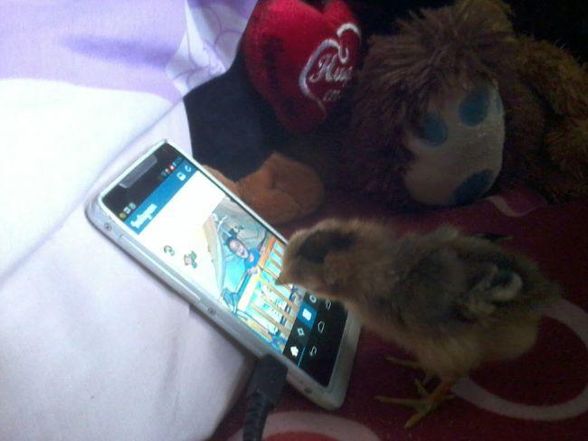 My chicken is technologic