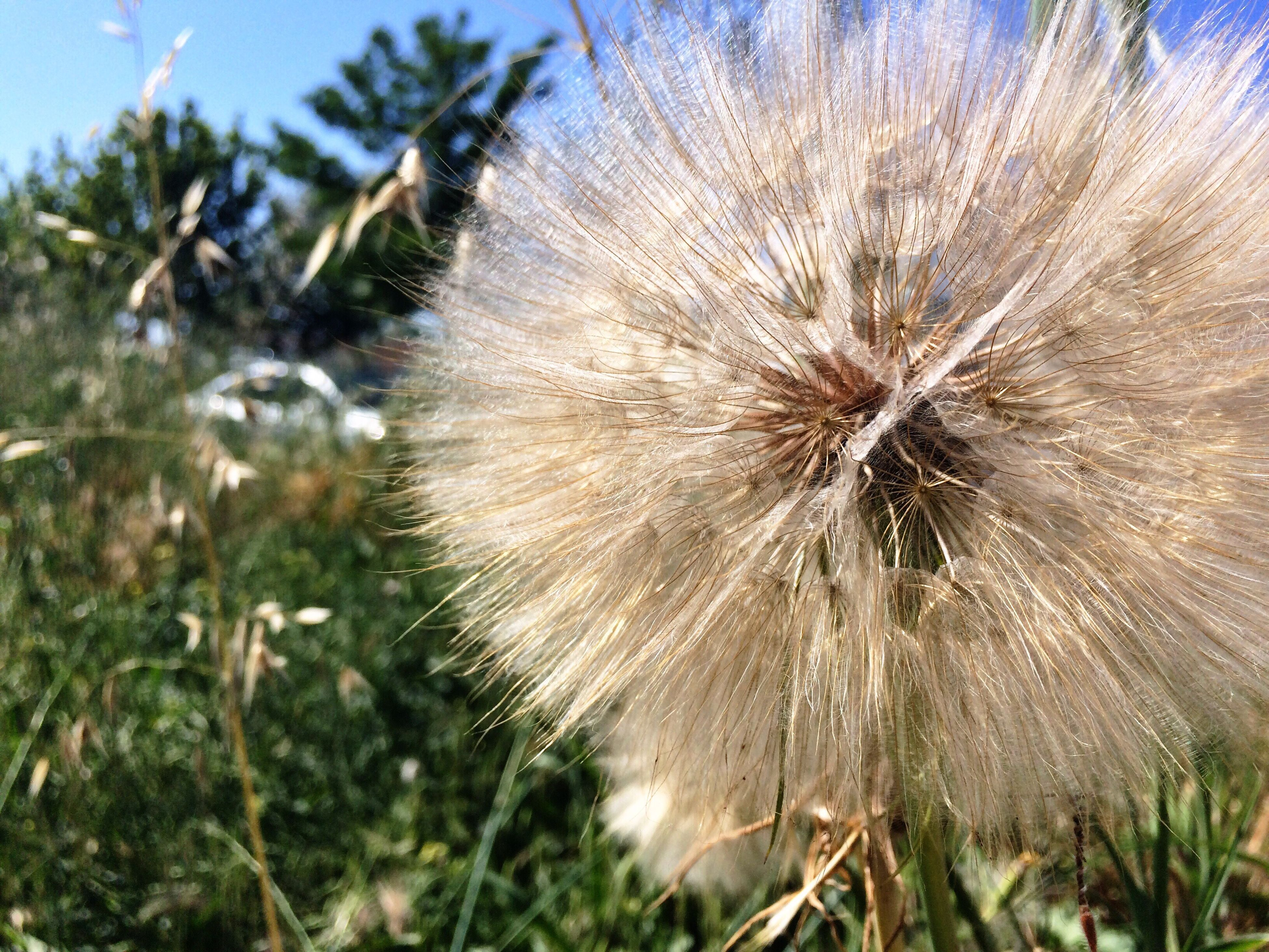 flower, dandelion, nature, plant, growth, fragility, close-up, beauty in nature, flower head, uncultivated, focus on foreground, no people, outdoors, freshness, day, grass