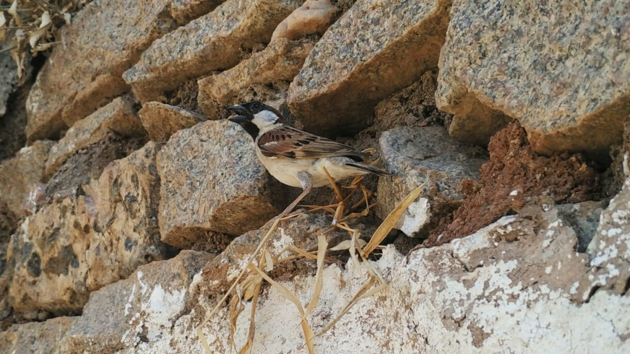 Sparrow calling.... Sparrow Birds_collection Birds Rare Rock Wall Textures Nature Nature Photography Nature_collection