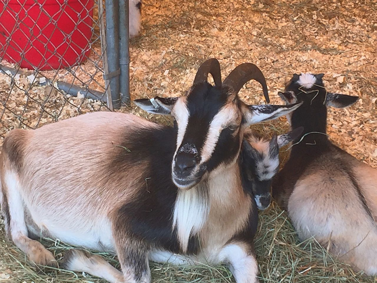 Taking Photos Deerfield Fair Walking Around Goats Resting Time