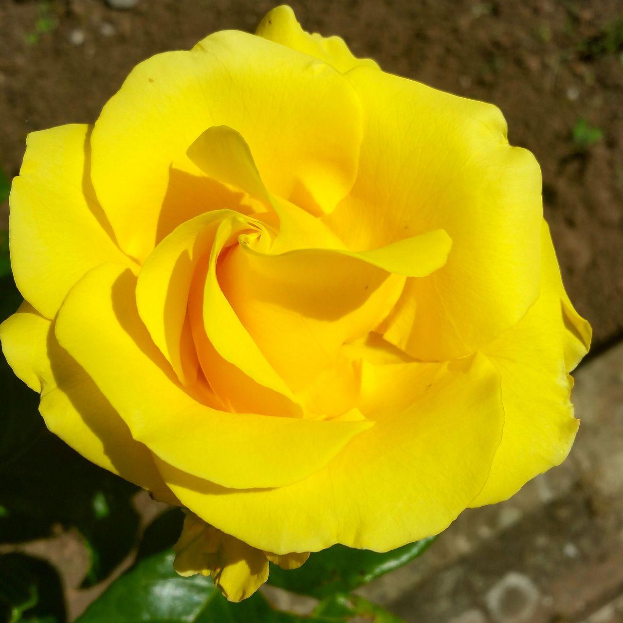 Yellow Flower Flower Head Walking Around EyeEm Flowers Collection Eyeem Flowers Yellowflower Yellow Rose Garden Maesycwmmer