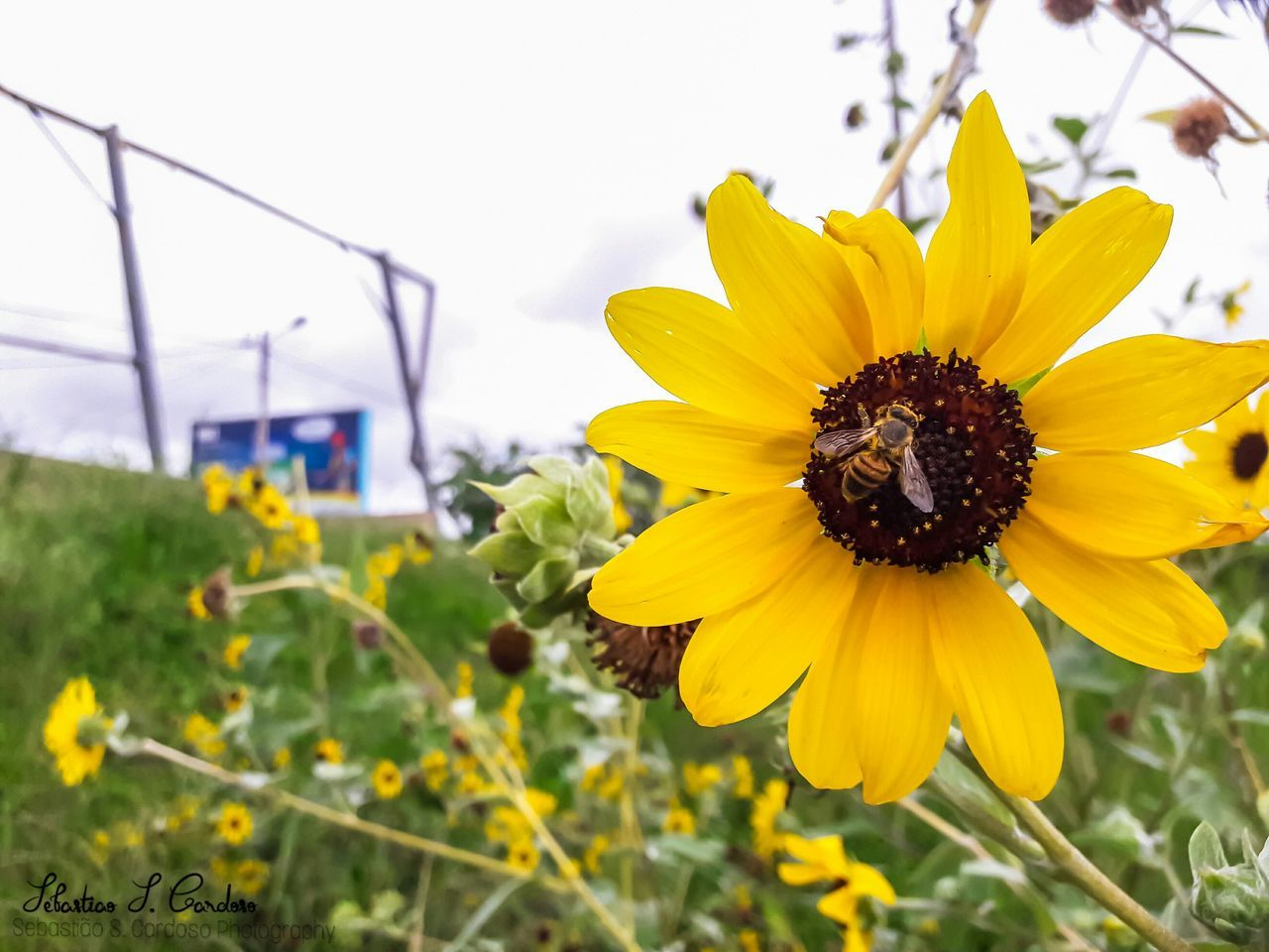 flower, yellow, petal, plant, beauty in nature, nature, fragility, animal themes, insect, flower head, growth, one animal, animals in the wild, freshness, no people, sunflower, day, animal wildlife, outdoors, pollen, bee, close-up, blooming, pollination, black-eyed susan