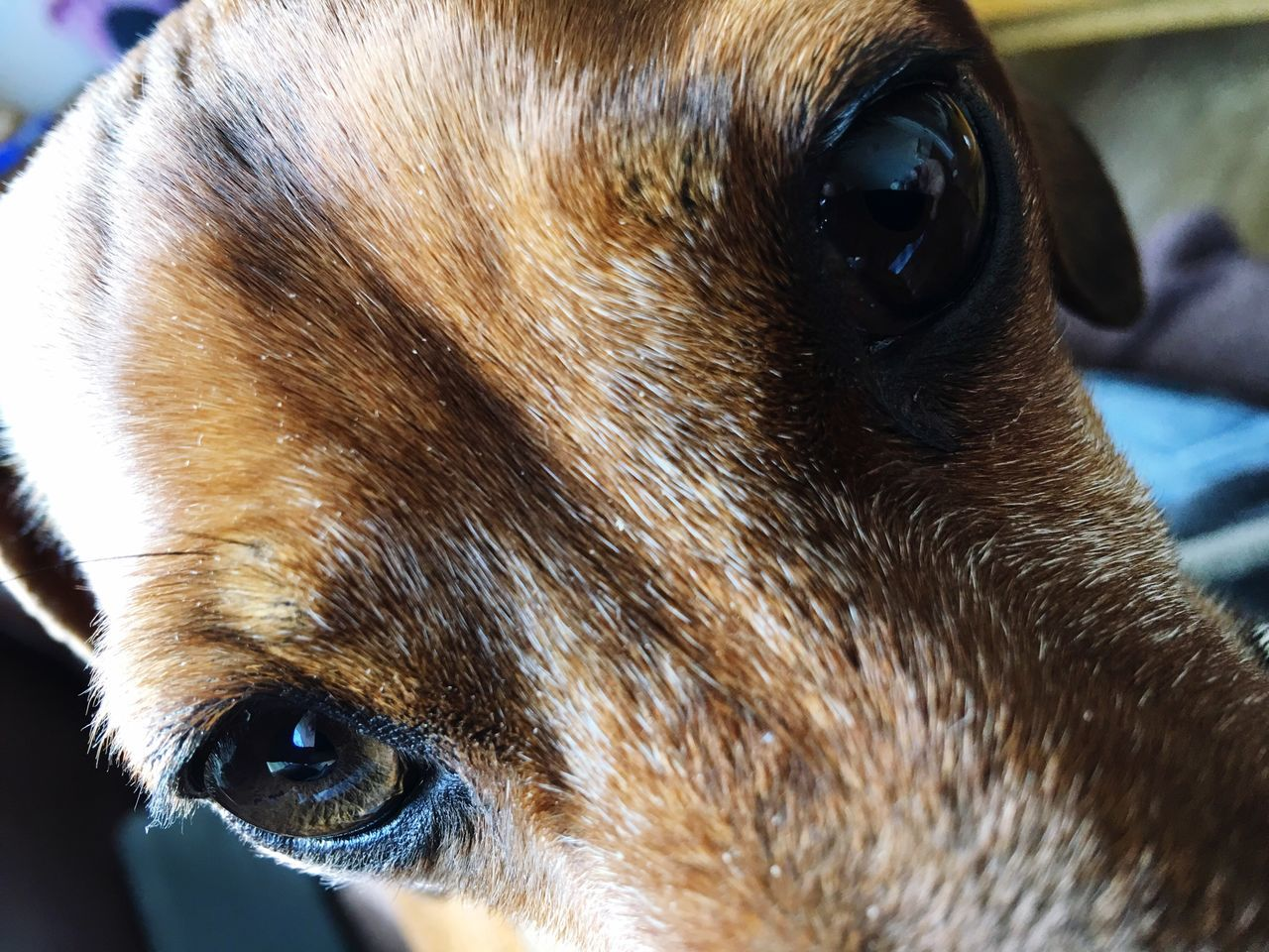 Watchful Eye Watchful Dog In My Face Dog Love Pet Photography  Dogs Doxie Love My Pets Daschund Relaxing Moments Doxie Loving Moments