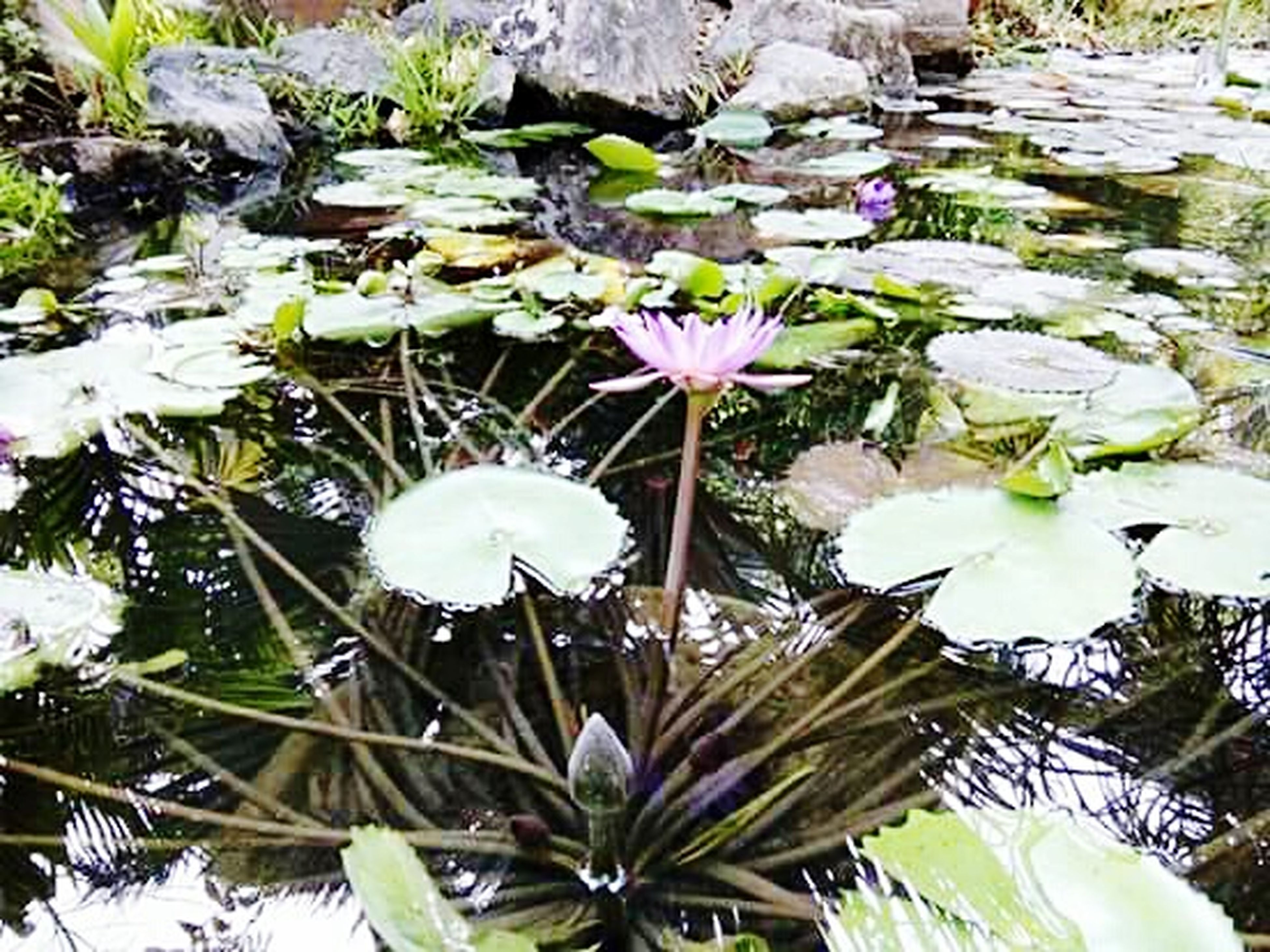 flower, freshness, fragility, growth, water, beauty in nature, water lily, nature, petal, plant, close-up, floating on water, lotus water lily, flower head, blossom, springtime, day, growing, botany, in bloom, pink color, green color, bloom, no people, tranquility