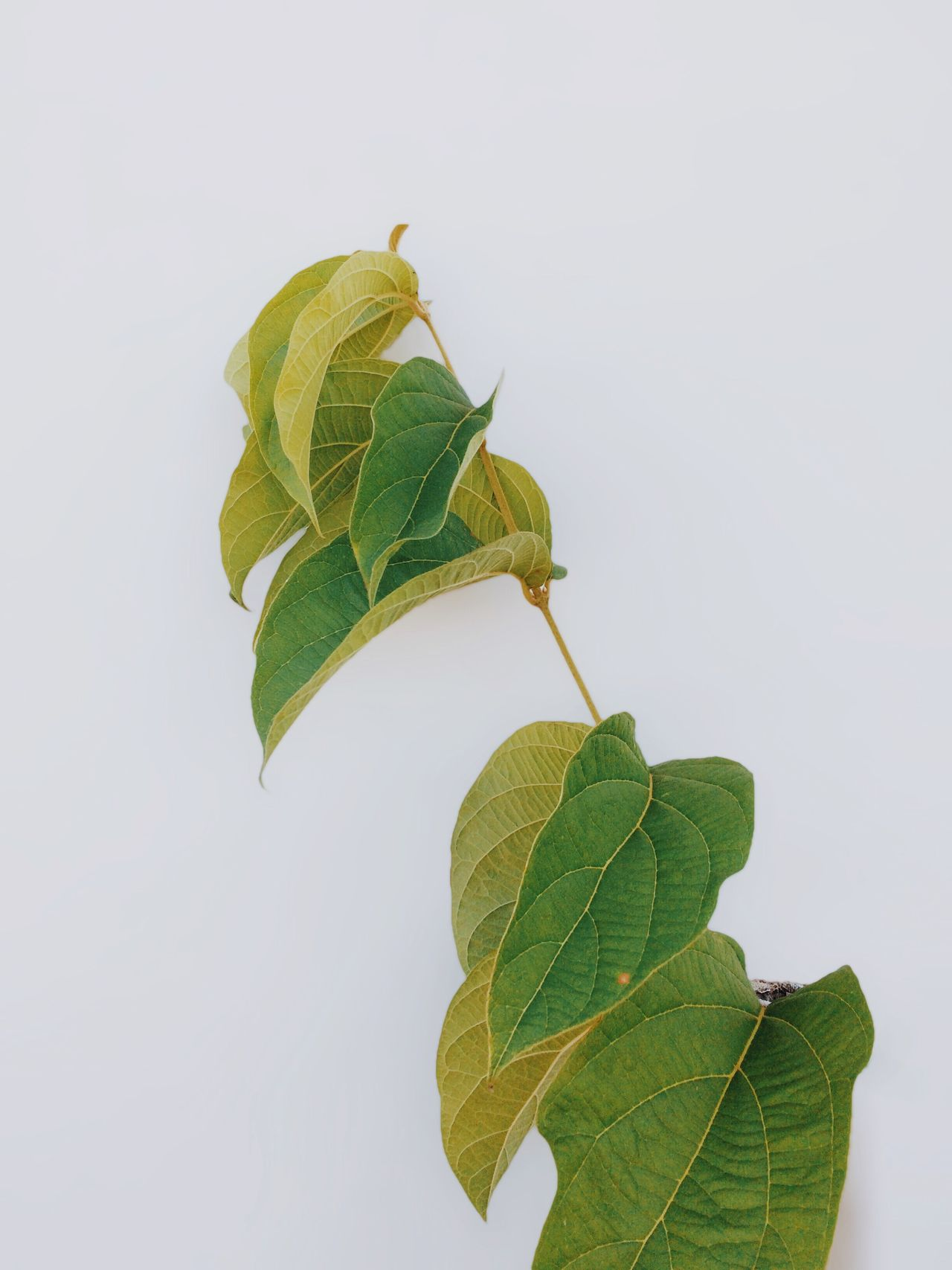 Leaf Green Color Freshness Studio Shot Nature Close-up Food Gray Background Plant No People Growth Healthy Eating Tree Day