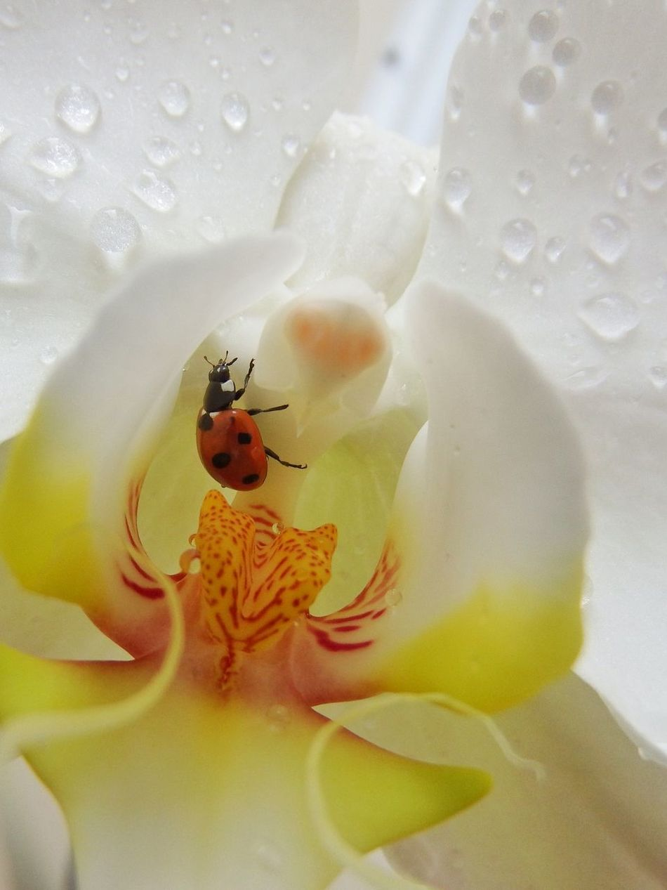 Ladybug🐞 Orchid Orchid Blossoms Insect Animal Themes Animal Wildlife Animals In The Wild Flower Fragility Water Freshness Nature Beauty In Nature Close-up Outdoors Day