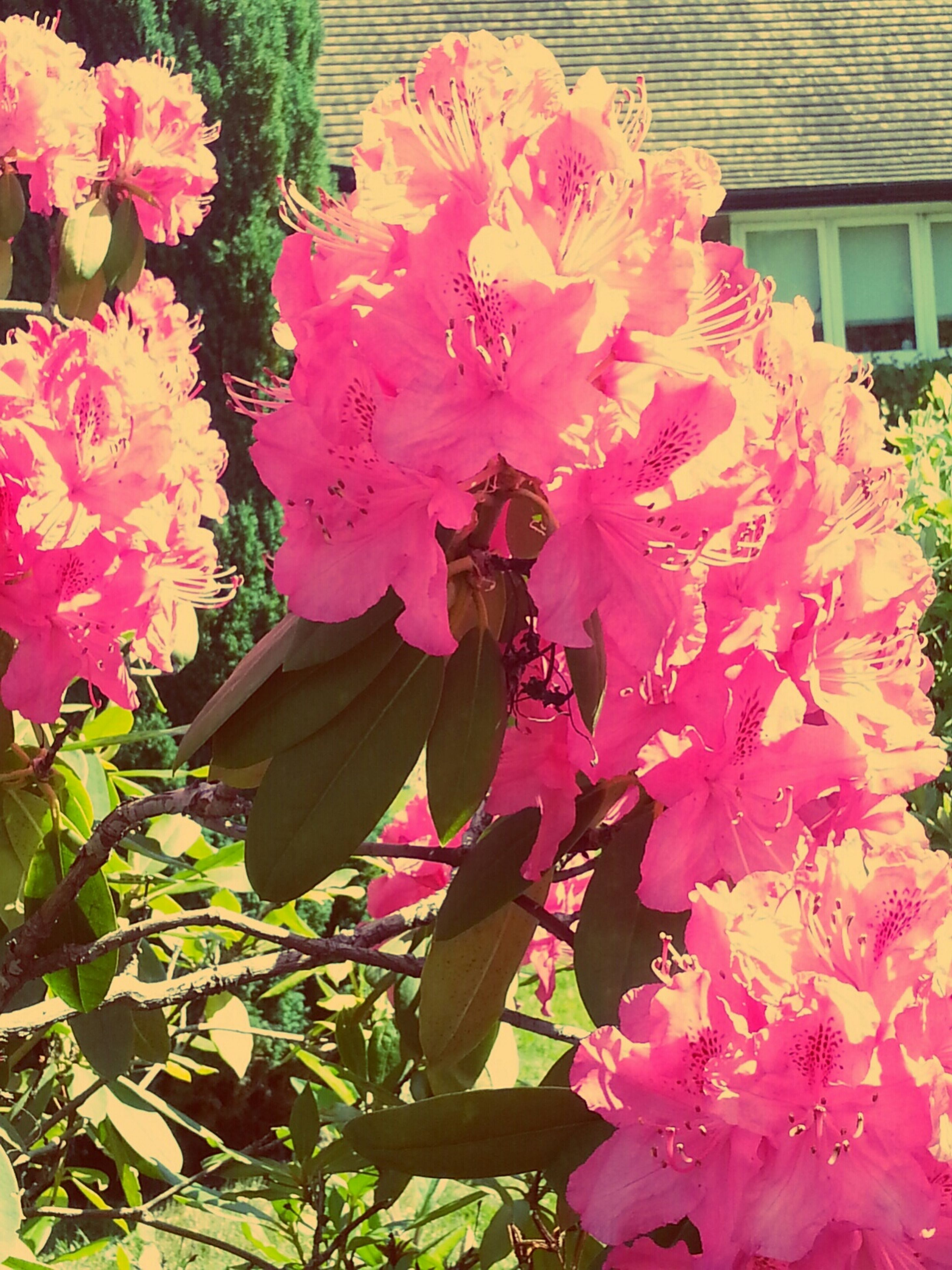 flower, freshness, petal, fragility, pink color, growth, beauty in nature, flower head, blooming, nature, plant, pink, in bloom, close-up, blossom, leaf, park - man made space, day, outdoors, no people