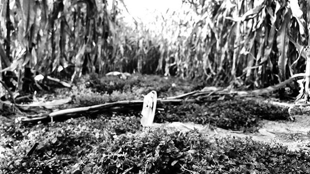 Got lost in the corn Kelleymediaproductions Art Photography Corn Cornmaze Nature Naturephotography Blackandwhite Blackandwhitephotography Photographer Photographersofinstagram Stayrad