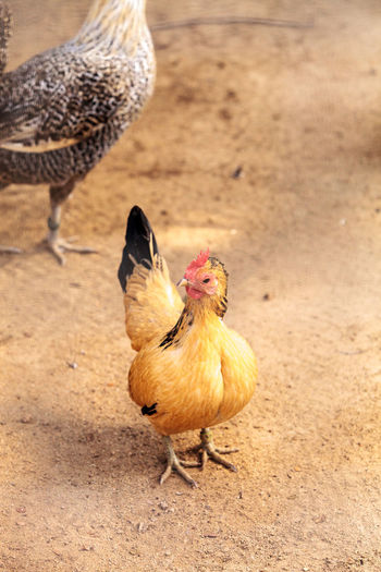 Sicilian Buttercup Chicken scratches the ground and pecks for food in a farm yard. Chicken Farm Poultry Sicilian Buttercup Sicilian Buttercup Chicken Animal Themes Barnyard Bird Chicken - Bird Close-up Day Domestic Animals Field Livestock Nature No People Outdoors