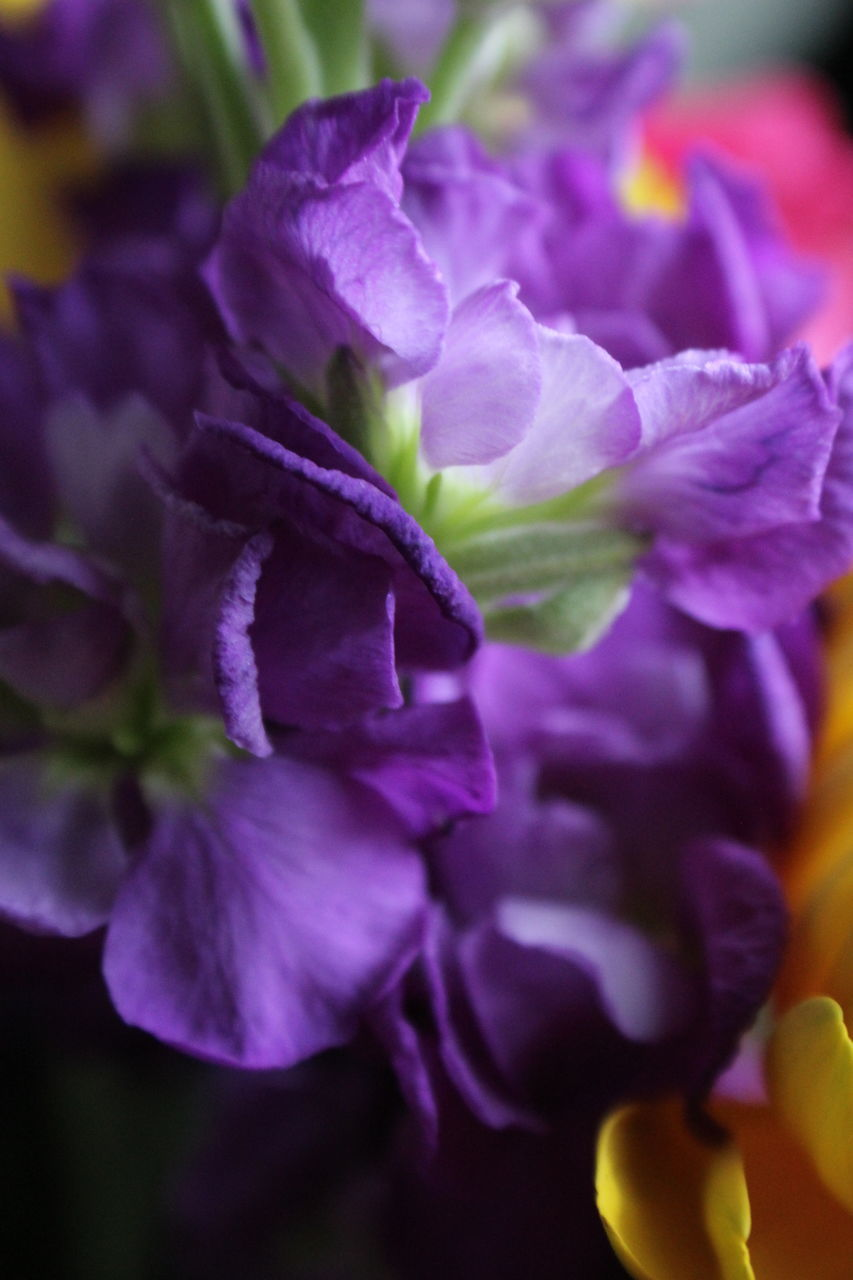 purple, flower, beauty in nature, nature, growth, petal, plant, no people, fragility, freshness, close-up, blooming, outdoors, flower head, day