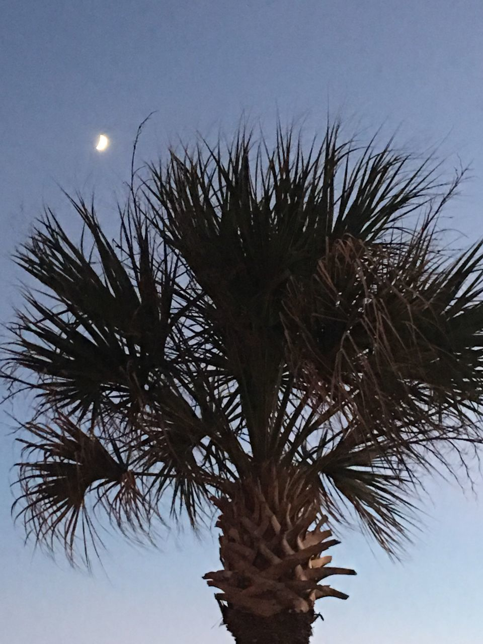 low angle view, growth, palm tree, tree, no people, outdoors, sky, nature, clear sky, day, moon, beauty in nature, close-up