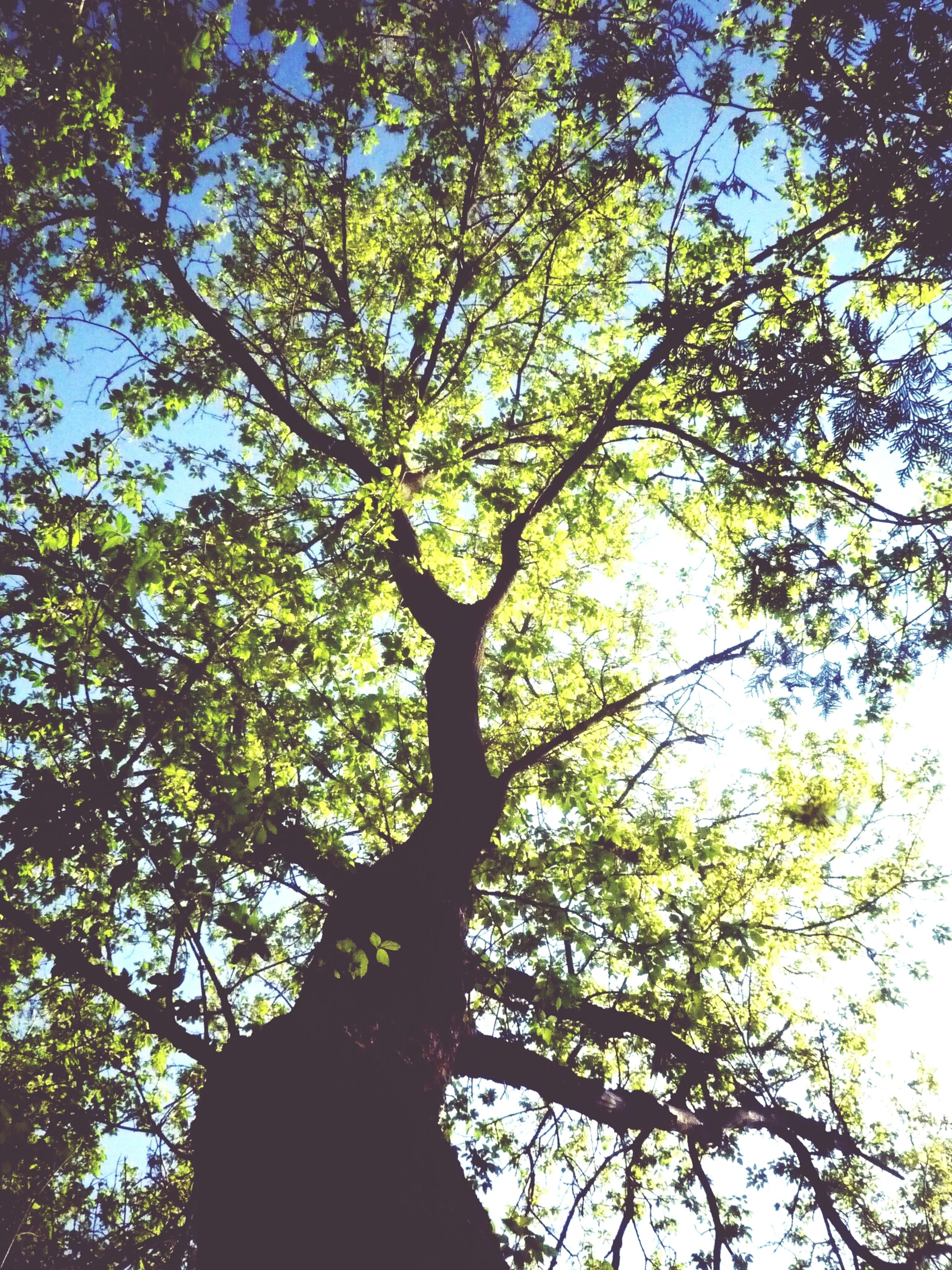 tree, low angle view, branch, growth, nature, tranquility, beauty in nature, sky, tree trunk, green color, forest, outdoors, no people, day, scenics, backgrounds, clear sky, tranquil scene, directly below, full frame