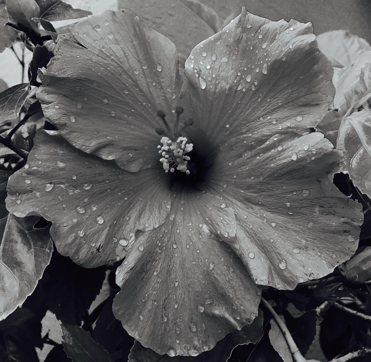 drop, wet, petal, nature, flower, beauty in nature, fragility, no people, freshness, day, flower head, growth, water, raindrop, outdoors, close-up, leaf, petunia