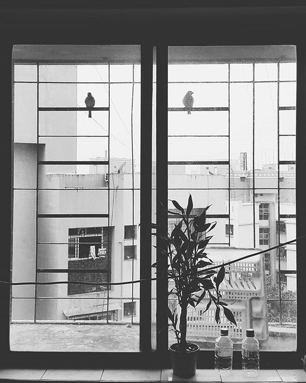 Two Little Brown Sparrows Sparrows Window Windowsparrow Chineseplant Monochrome Blackandwhite Monochronatic Birds Twobirds Outsidewinindow Mumbai India Biology Ornithology  Art_ornithology Art_ornithology_main_cui Zoology Buildings Urbanbirds Citybirds