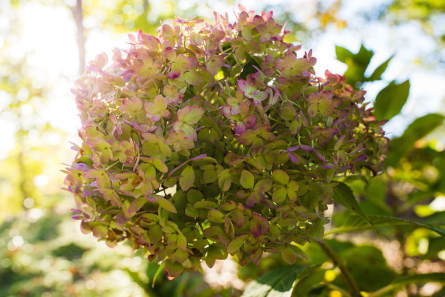 Autumn Blooming Blossom Botanical Gardens Botany Depth Of Field Fall Flora Flower Flower Head Flowers Fragility Freshness Green Color Growing Growth Hydrangea Leaf Light Nature New Life Petal Plant Selective Focus Stem