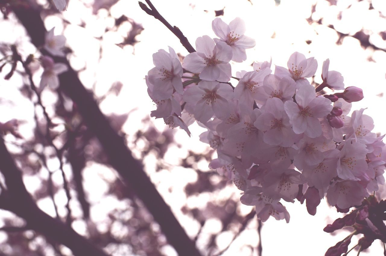 flower, beauty in nature, fragility, nature, blossom, springtime, freshness, growth, tree, branch, low angle view, apple blossom, white color, botany, petal, no people, pink color, day, outdoors, close-up, blooming, flower head