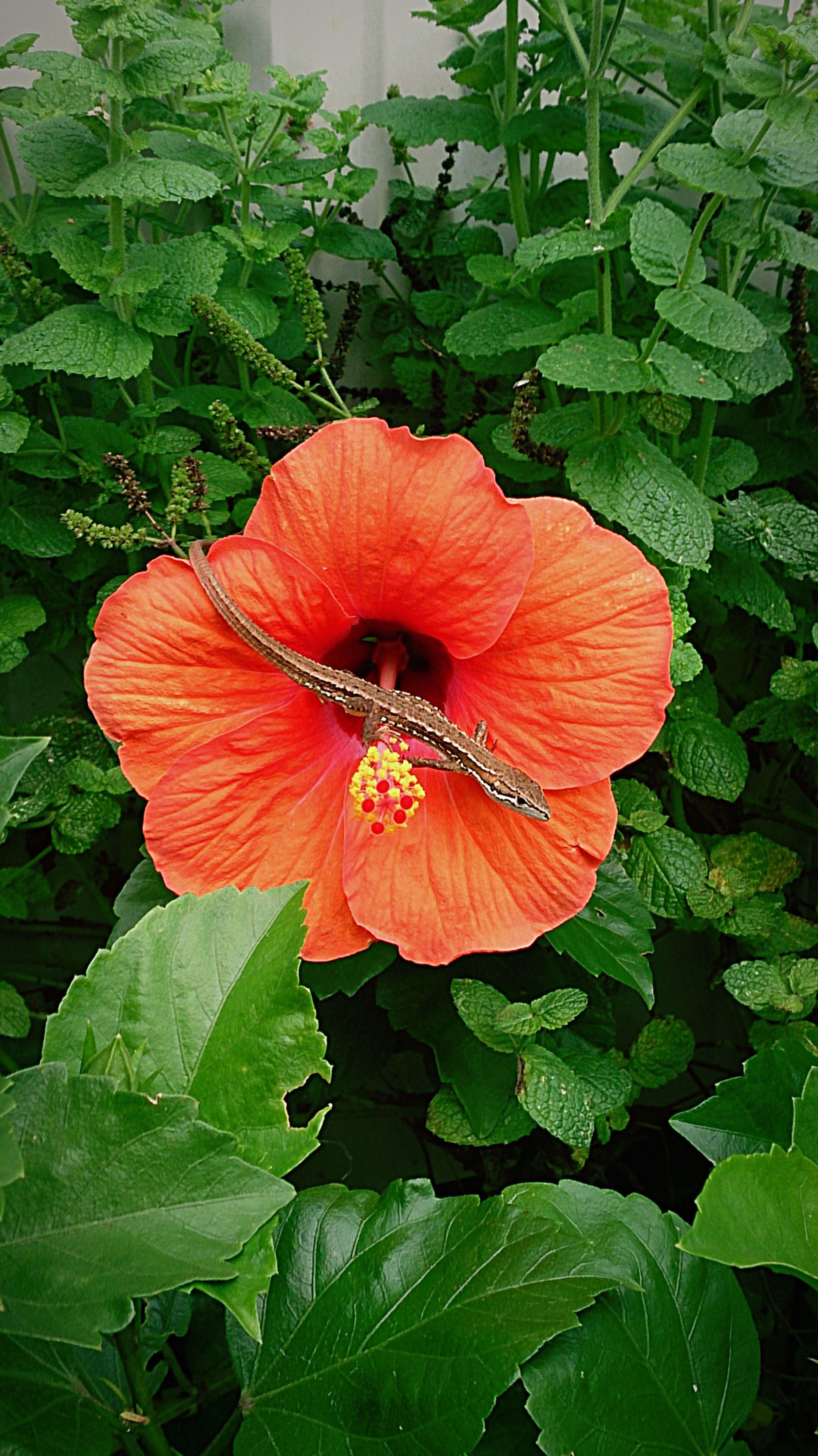 flower, freshness, fragility, petal, leaf, flower head, growth, single flower, beauty in nature, hibiscus, plant, nature, orange color, close-up, blooming, green color, stamen, pollen, high angle view, focus on foreground
